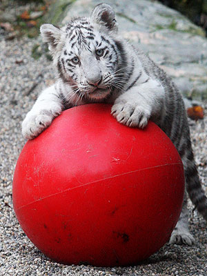 white-tiger-cub-2-300